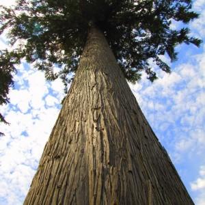 Cedar-Wood-Beam_Tree