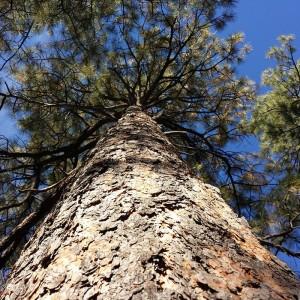 Clear-Pine-Wood-Beam_Tree