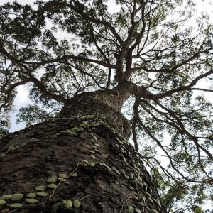 Mahogany-Wood-Beam_Tree
