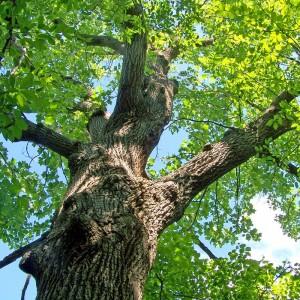 Oak-Wood-Beam_Tree