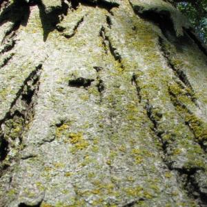 hickory-tree