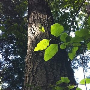 Alder-Wood-Beam_Tree-Trunk