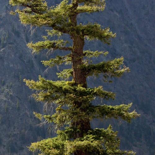 Doug-Fir-Wood-Beam_Tree